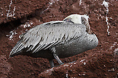 A Blue-footed Booby preening its wet feathers after having just emerged from the ocean onto the red lava rock of Rabida Island, one of the Galapagos Islands. Notice that its feet are not blue which is typical when the bird comes from the water. As the bird warms up the feet slowly turn the recognizable blue.