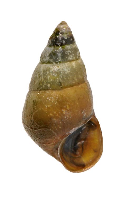 laver spire shell<br /> Hydrobia ulvae