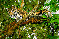 jaguar, Panthera onca (c), resting in tree, Belize, Caribbean, Atlantic Zoo, Belize, Caribbean, Atlantic, Central America, Caribbean, Atlantic