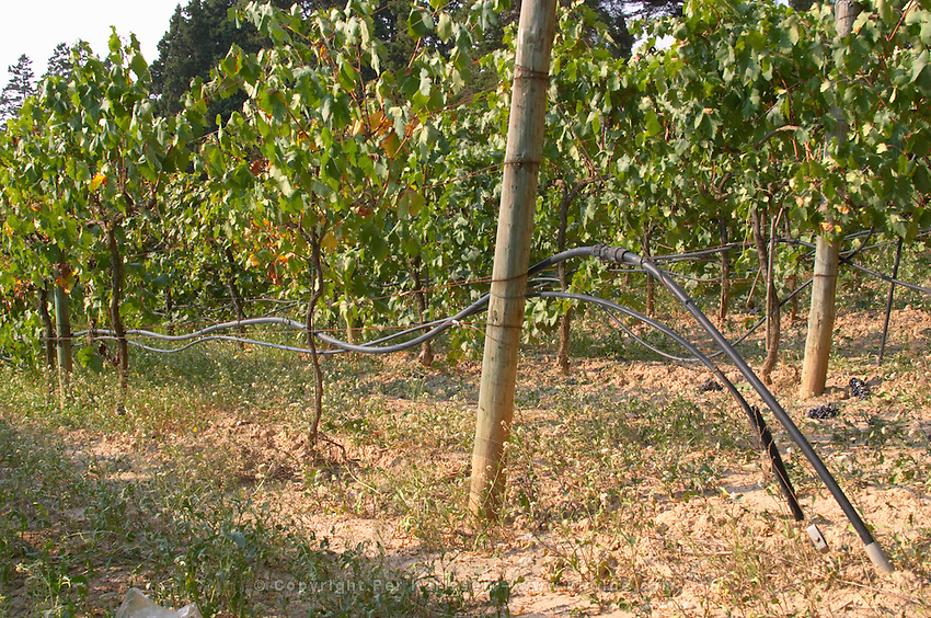 Irrigated vines. Albet i Noya. Penedes Catalonia Spain
