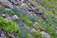Hillside of Mountain Bluebells