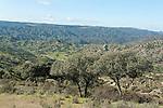 Cork Trees Quercus sp. in Landscape, Mediterranean Habitat for Iberian Lynx, Sierra de Andujar Natural Park, Sierra Morena, Andalucia, Spain