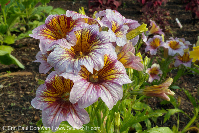 Painted Tongue Salpiglossis Royale Flower at Prescott Park located in Portsmouth New Hampshire USA which is part of the New England seacoast