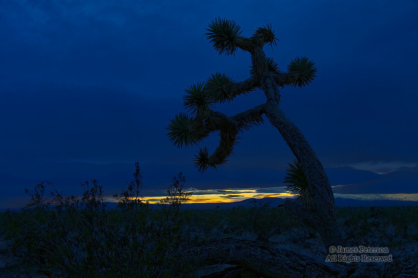Joshua Tree, Mojave Desert, California.  Available in sizes up to 30 x 45 inches.