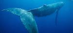 Humpback whale(s), Megaptera novaeangliae, Vava'u, Tonga