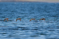 Eiderente, Eider-Ente, Weibchen im Flug über das Meer, Somateria mollissima, common eider