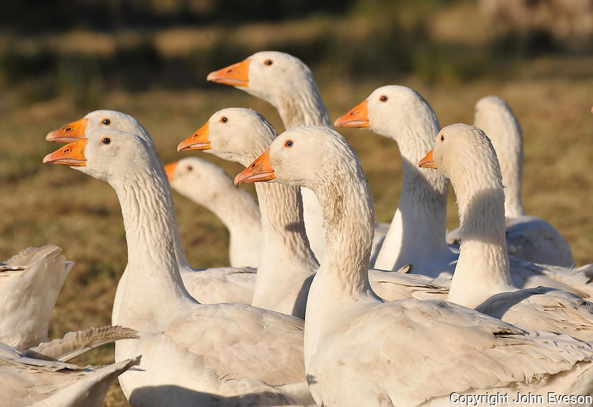 Geese in a field, Chipping, Lancashire.