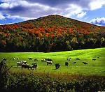 Cows grazing on green fields in Vermont