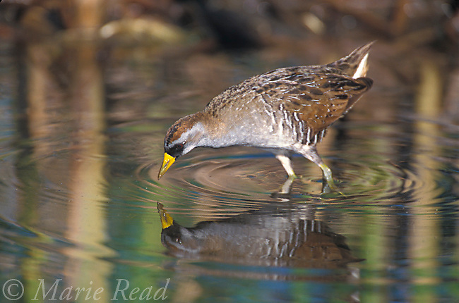 Sora (Porzana carolina) foraging, St. Marks National Wildlife Refuge, Florida, USA <br /> Slide # B47-24