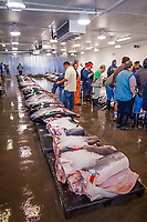 shark meat and other locally caught fish on pallets on the auction floor, mostly of mako sharks, Isurus sp., and thresher sharks, Alopias sp., Honolulu Fish Auction by United Fishing Agency, the only fresh tuna auction in the US, up to 160,000 pounds of fish can be auctioned in a day, Pier 38, Commercial Fishing Village, Honolulu, Oahu, Hawaii, USA