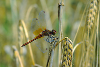 Gefleckte Heidelibelle, Männchen, Sympetrum flaveolum, yellow-winged darter, yellow winged sympetrum, male