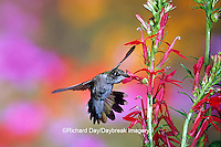 01162-107.09 Ruby-throated Hummingbird (Archilochus colubris) on Cardinal Flower (Lobelia cardinalis)  Marion Co. IL