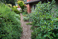 Mulched path through side yard in California native plant garden with evergreen shrub privacy hedge, Schino