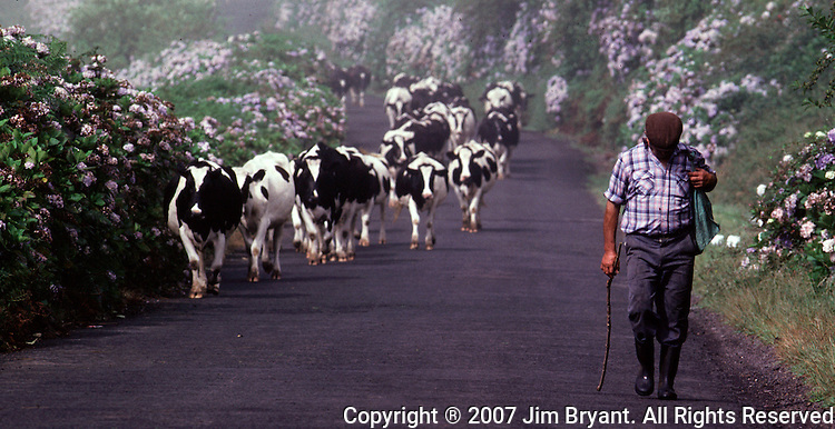 A  man herds cattle from one field to another on Terceira, Azores. Far out in the Atlantic Ocean, some 850 miles off the western coast of Lisbon, Portugal lies the 425-mile long archipelago of the Azores. (Jim Bryant Photo).....