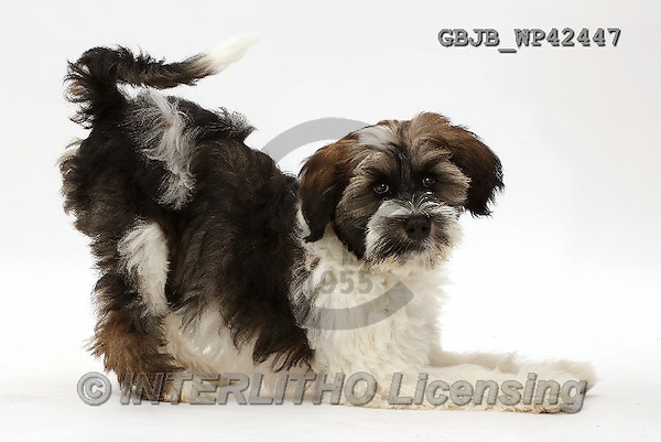 Kim, ANIMALS, REALISTISCHE TIERE, ANIMALES REALISTICOS, fondless, photos,+Tibetan Terrier puppy in play-bow,++++,GBJBWP42447,#a#