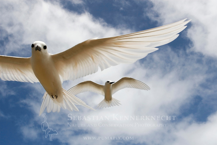 White Tern (Gygis alba) male pursuing female in courtship flight, Midway Atoll, Hawaiian Leeward Islands, Hawaii