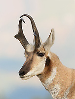 Portrait of a Montana pronghorn antelope buck. <br /> <br /> Montana 9/21/2017