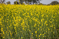 Rajasthan, India.  Field of Mustard in Bloom.