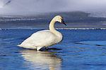 Trumpeter Swan in Water