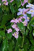 Altamira, Brazil. Mauve flowers.