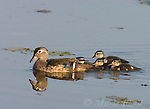 Wood Duck (Aix sponsa) female with five ducklings, Montezuma National Wildlife Refuge, New York, USA