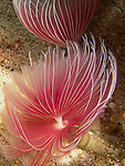 Shi Lang, Green island -- An undetermined bispira species, a feather duster worm of the Sabellidae family.