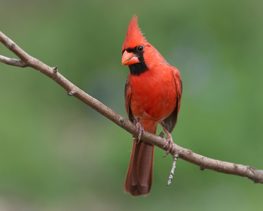 Northern Cardinal in Spring.
