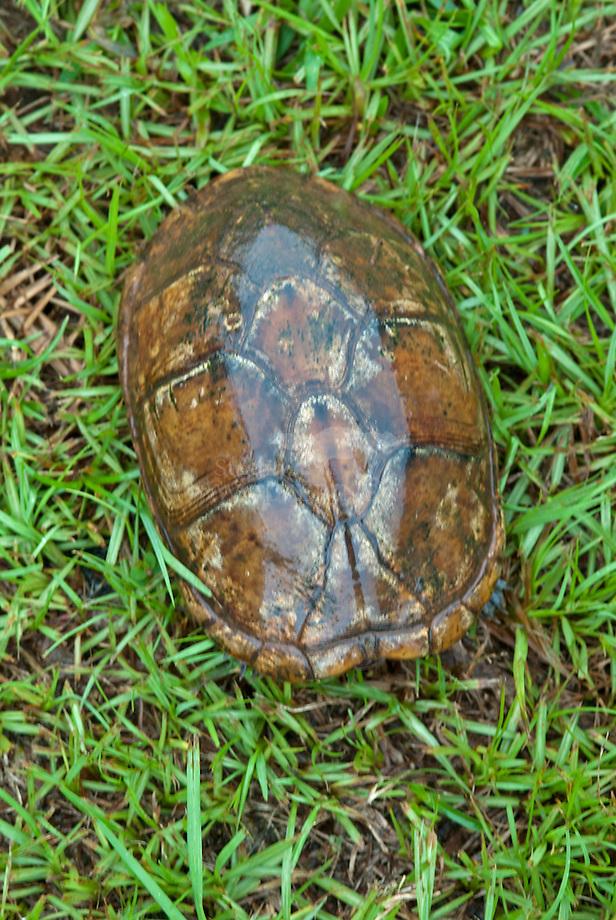 Witlip modderschildpad (Kinosternon leucostomum)
