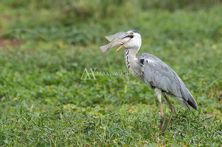 A species I often see on Africa trips. This one landed its catch in Lake Manyara National Park.