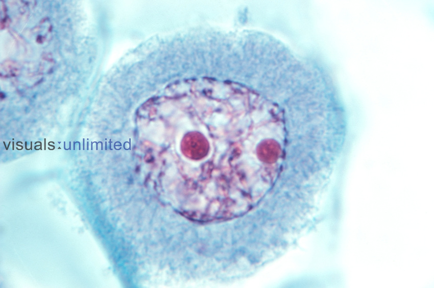 Early Prophase I of microsporogenesis in a Lily (Lilium). LM