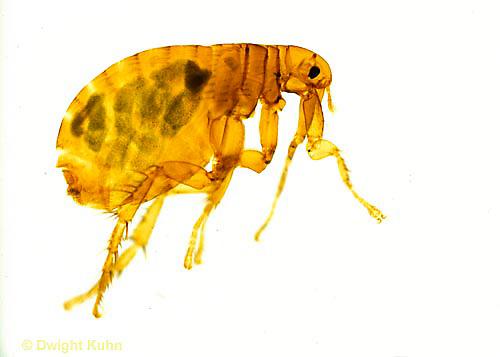 SG01-019x  Human Flea - Pulex irritans.