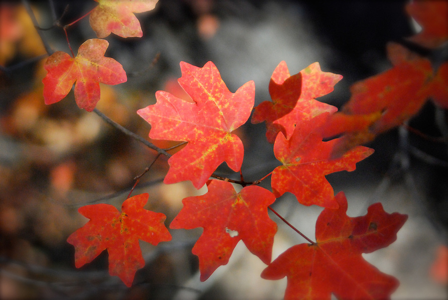 Close-up of red bigtooth maple leaves in the fall at Lost Maples State Natural Area, Texas, USA.