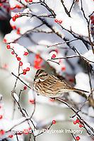 01575-018.01 Song Sparrow (Melospiza melodia) in Common Winterberry (Ilex verticillata) in winter, Marion Co. IL