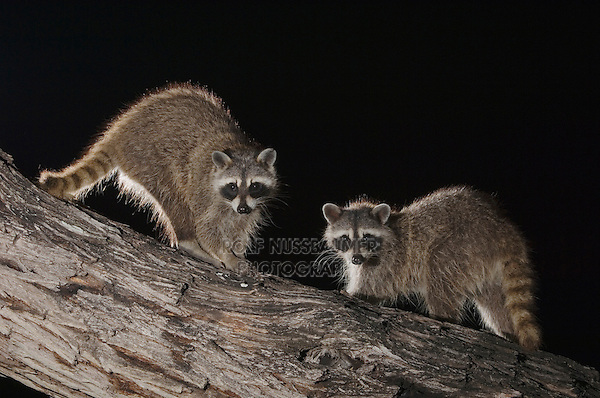 Northern Raccoon, Procyon lotor, two adults at night on tree, Willacy County, Rio Grande Valley, Texas, USA