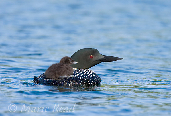 Common Loon (Gavia immer) adult swimming, with chick (2-3 days old) riding on its back, Michigan, USA.