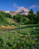 ORCAN_088 - USA, Oregon, Mount Hood National Forest, Mount Hood Wilderness, Summer meadow of lupine blooms beneath the north side of Mount Hood, near Wy'East Basin.