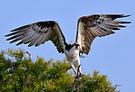 An osprey with wings spread balances on a Cypress tree branch before taking flight at Blue Cypress Lake, FL.