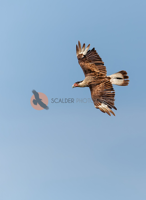 Crested Caracara in flight against blue sky, soaring. Image is vertical