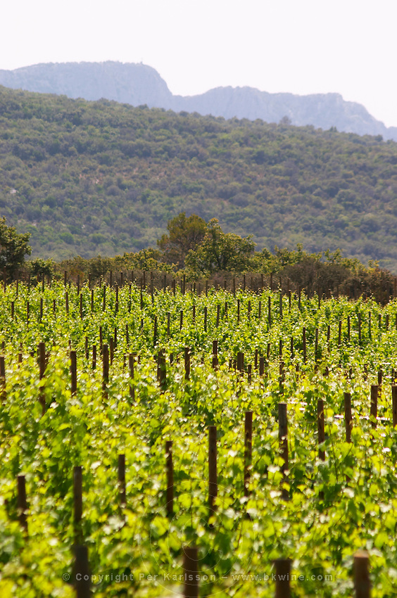 Domaine Cazeneuve in Lauret. Pic St Loup. Languedoc. Syrah vine variety. France. Europe. Vineyard. Mountains in the background.