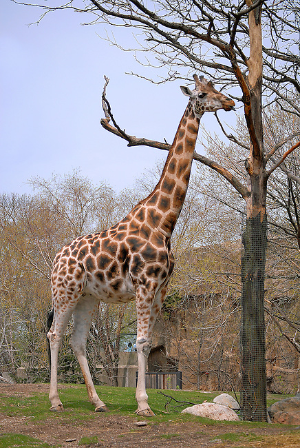 A Giraffe has it's head in the trees at Lincoln Park Zoo, Chicago, Illinois