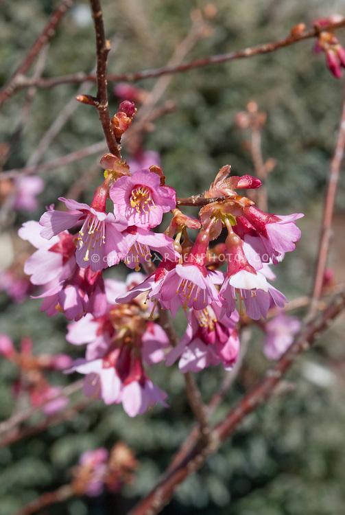 Prunus 'Okame' flowers closeup cherry tree in pink spring bloom