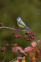 Blue Tit (Parus caeruleus), adult perched on berry laden branch of European cranberrybush (Viburnum opulus) , Oberaegeri, Switzerland, Europe