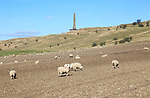 Sheep grazing near Lansdowne monument, Cherhill, Wiltshire, England, UK