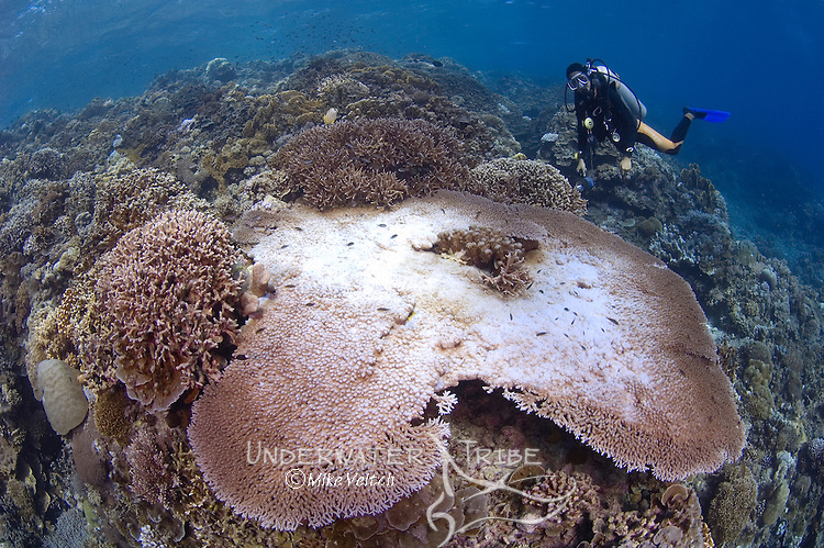Bleached table coral, with several species of hard coral including Staghorn, Acropora sp. and Table, Porites sp., Layang Layang Atoll, Sabah, Malaysia, South China Sea, Pacific Ocean