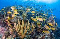 French grunt, Haemulon flavolineatum, bluestriped grunt, Haemulon sciurus, schooling, coral reef, Gardens of the Queen, Jardines de la Reina, Jardines de la Reina National Park, Cuba, Caribbean Sea, Atlantic Ocean