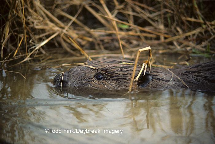 02107-00106 (TF) Beaver (Castor canadensis)    IL