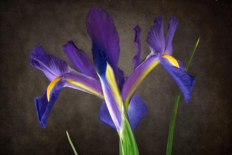Close up of iris flower.