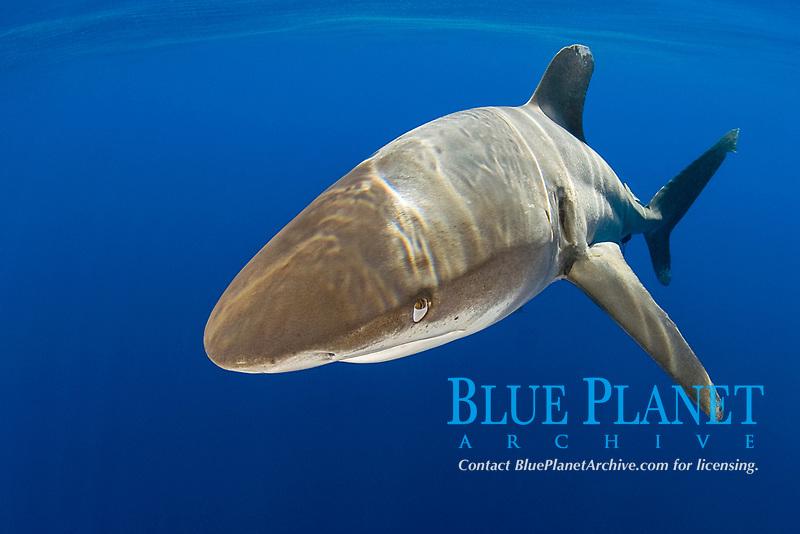 nictitating membrane covers eye as oceanic whitetip shark, Carcharhinus longimanus, open ocean, Hawaii, ( Central Pacific Ocean )