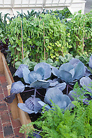 Urban Vegetable Garden growing blue cabbages, carrots, sugar snap peas, raised beds, kale, cold frame at rear, brick pathway