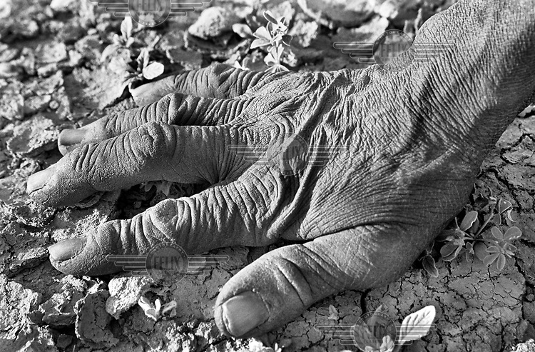 © Ami Vitale / Panos Pictures..An old farmers hand rests on teh dry soil in the Affolé region of Mauritania where there is little rain. People are fighting against famine and raising cattle, sheep, goats, and camels was sharply reduced by the great drought of the 1970s and 80s.  The farmers in the village of Bounessa struggle to grow sorgum and rice, often challenging the birds that want a share of the ripening crops. Bounessa is a village of only 61 families, all of one sub-clan and tribe, the Swaqer of the Hel Sidi Mahmoud. The families were once nomadic,  but since they built a dam in 1960, they are settled now.   (Photo by Ami Vitale)